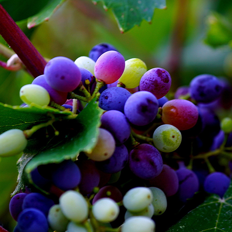ezousa maratheftiko red grapes - veraison